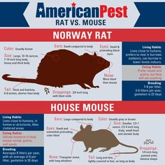 Click to learn more about how to tell the difference between a mouse and a rat!