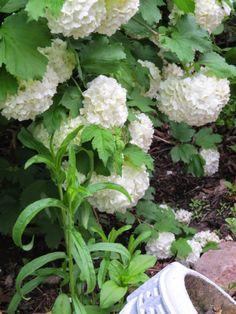 Arbor House Lane: Spring Snowballs