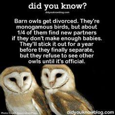 Barn owls get divorced. They're monogamous birds, but about of them find new partners if they don't make enough babies. They'll stick out for a year before they finally separate, but they refuse to see other owls until it's official. -- ๏̯͡๏﴿ Its a Fact Owl Facts, Animal Facts, Animal Fun, Funny Animal Pictures, Funny Animals, Cute Animals, Funny Photos, The More You Know, Did You Know