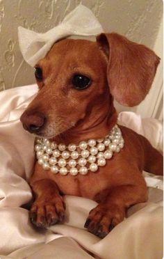 Dachshund Diva in a bow and pearls. Funny Animals, Cute Animals, Little Presents, Weenie Dogs, Doggies, Baby Dogs, Dachshund Love, Daschund, Dapple Dachshund