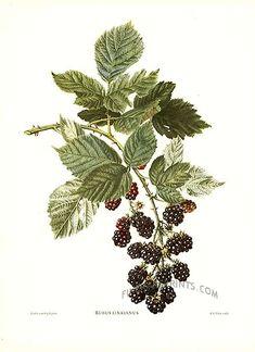 Коллекция картинок: Vintage Prints of Fruit by Reifel