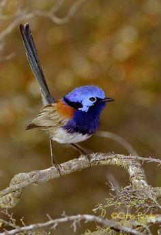 Blue-breasted Fairy Wren