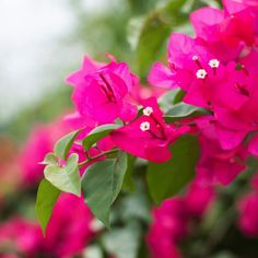 Helen Johnson Bougainvillea Plants is perfect for growing in small spaces! Attracts butterflies, bees and hummingbirds. Helen Johnson, Healthy Delivery, How To Attract Hummingbirds, Attracting Hummingbirds, Planting Vegetables, Bougainvillea, Plant Sale, Garden Pots, Mother Nature