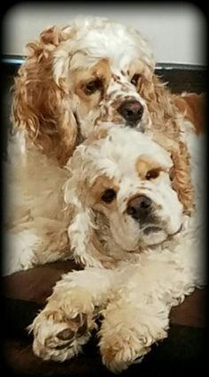 Toby and Cooper, my red and white parti cocker spaniel brothers. ❤❤