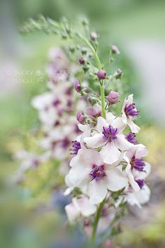 Verbascum 'Jackie' by Jacky Parker Floral Art, via Flickr