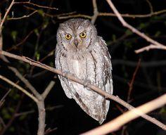 Common Scops Owl (Otus scops) by Jevgeni Ekimov