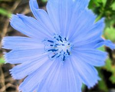 Flower photo of Chicory, taken along a hiking trail, in Pennsylvania. Best Food For Runners, Pink Pendants, Labradorite Jewelry, Three Stone Engagement Rings, Oval Diamond, Macro Photography, Flower Vases, Wild Flowers, Wall Art