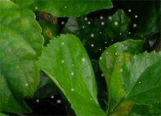 Hibiscus Care - Hibiscus Doctor Hibiscus Tree Care, Growing Hibiscus, Hibiscus Plant, House Plant Care, House Plants, Whitefly, Green Leaves, Plant Leaves, Flower Petals