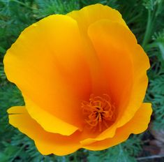 Official California State Flower -- the California Poppy: how to grow them, where to find them and when they bloom, California Poppy Day ...