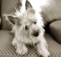 Cairn Terrier | Cairn Terrier