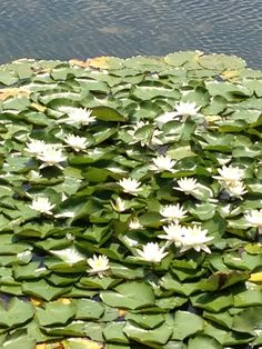White lilies adding a splash of colour to our pond. www.walterstheatre.com