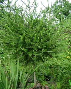 Европейская лиственница - самый быстрорастущий вид лиственниц