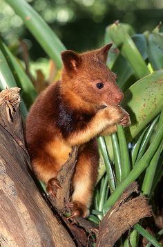 goodfellows tree kangaroo dendrolagus goodfellowi