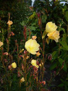 Oenothera odorata 'Apricot Delight'.