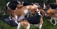 """""""O GRITO DO BICHO"""": Vídeo mostra beagles resgatados em laboratórios pe..."""