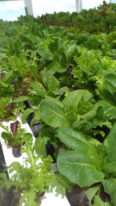 Fresh salad greens brought to alFresco from Green Sky Growers! Grown without the use of harmful pesticides.  alFresco, Winter Garden, FL