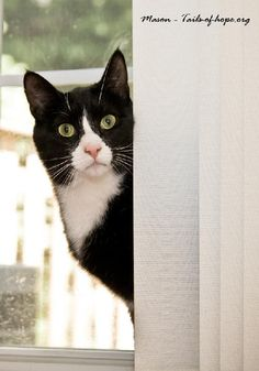 """Mason, a Domestic Short Hair/Tuxedo, """"I don't want to be fussy, but this window needs washing."""""""