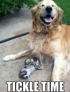This Golden Retriever looks like he's getting a kick out of this little kitten.  #puppied PP:  Tickle me!