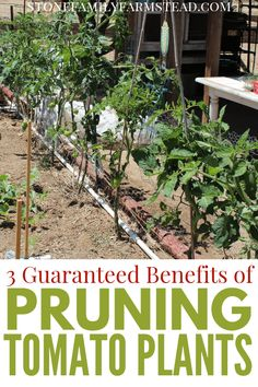 Gardening Vegetables Pruning tomato plants is a necessary evil for the vegetable gardener, but besides taming unruly plants, there are some guaranteed benefits of this practice. Backyard Vegetable Gardens, Garden Soil, Tomato Garden, Growing Tomatoes, Growing Vegetables, Fresh Vegetables, Gardening Vegetables, Green Tomatoes, Veggies