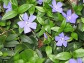Description Vinca minor001.jpg
