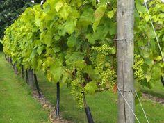 Kako da gajite vinovu lozu u dvorištu