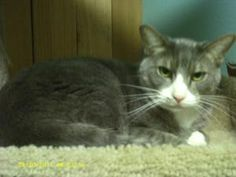 George is a Domestic Short Hair.  He is a 7 years old.  He is a good boy who loves attention.  He is on a prescription food for his bladder.  He has been around dogs but is scared of them.  He would be a great lap cat. http://www.petfinder.com/petdetail/23950710#