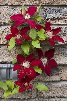 At mailbox: Clematis 'Rebecca'. A new clematis from Raymond Evison Clematis Plants, Clematis Flower, Clematis Vine, Garden Plants, Exotic Flowers, Beautiful Flowers, Climbing Vines, Flowering Vines, Trees To Plant