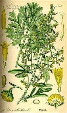 Vintage botanical illustration of absinthe wormwood. Perennial Bushes, Hardy Perennials, Wormwood Plant, Artemisia Absinthium, Artemisia Annua, Absinthe, Flora, Spices And Herbs, Wild Edibles