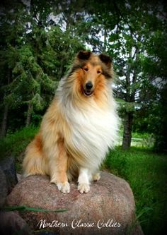 Northern Classic Collies - Classic Tandem Chaps. My collie Frisco's sire.
