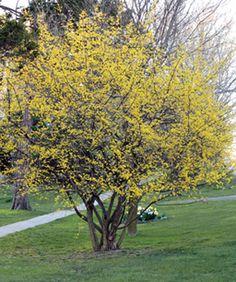 Katsura tree cercidiphyllum japonicum my landscape ideas great plant picks cornelian cherry full sun to light or open shade bright yellow flowers mightylinksfo
