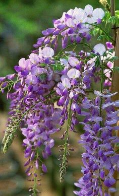 Texas Purple Japanese Wisteria Showy, large clusters of sweetly fragrant purple flowers in spring ar Purple Flowers, Beautiful Flowers, Purple Colors, Wisteria Sinensis, Purple Wisteria, Wisteria Trellis, Wisteria Plant, Illustration Photo, Gardening