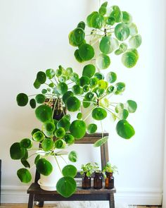 An awesome Pilea fam