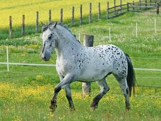 Noriker stallion, Oskar. A light draft horse breed of Austria. There are five foundation lines. Only one line carries the leopard complex traits, and it is the lightest and most refined. photo: BlackSoulChoir.