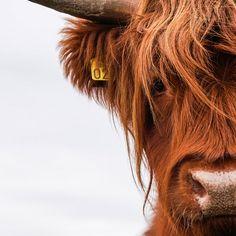 Highland Cow Art, Scottish Highland Cow, Highland Cattle, Cut Animals, Plush Animals, Farm Animals, Animals And Pets, Desenio Posters, Fluffy Cows