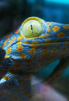 TOKAY GECKO (gecko gecko) - ©shinofour    Other Photos you might like:  Satanic Leaf-Tailed Gecko  Eyelash Gecko  Sweet Lips  shinofour:    Gekko gecko, more commonly known as the Tokay Gecko. They get about a foot long, and are one of the most aggressive geckos known to man.  But absolutely stunning.