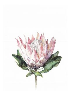 King Protea Art Print by LaurelandPearl on Etsy Protea Art, Protea Flower, Botanical Drawings, Botanical Illustration, Botanical Prints, Art Floral, Watercolor Flowers, Watercolor Art, Fine Art Paper