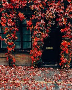 A house covered with crimson autumn vines