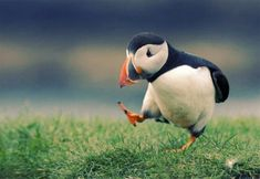 bird of the day: Puffin (lundi)