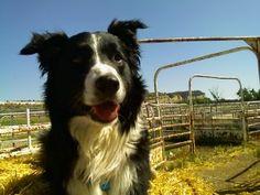English shepherd