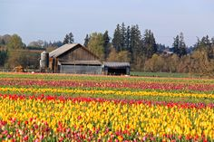 Wooden Shoe Tulip Festival, Woodburn, OR  woodenshoe.com Wooden Shoe, Tulip Festival, Tulips, Cabin, House Styles, Home Decor, Decoration Home, Room Decor, Cabins