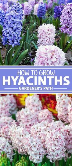 Mmm, what's that lovely smell? With their heady perfume and rich colors, hyacinths make a wonderful addition to the spring garden, or a very welcome indoor feature during the dreary winter months. Join us for a look at the best care and growing tips for this flowering favorite - read more now on Gardener's Path.