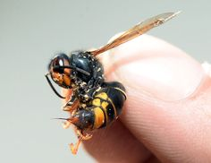 France fights back Asian hornet invader | Call A1 Bee Specialists in Bloomfield Hills, MI today at (248) 467-4849 to schedule an appointment if you've got a stinging insect problem around your house or place of business! You can also visit www.a1beespecialists.com!