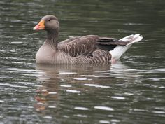 Greylag Goose | Flickr - Photo Sharing!