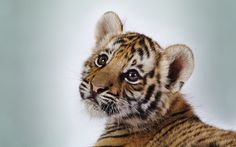 He's so adorable! Large Animals, Baby Animals, Best Facebook Cover Photos, Super Cute Animals, Adorable Animals, Tiger Cub, Fb Covers, Animal Wallpaper, Animals Of The World