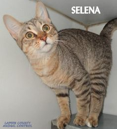 ADOPTED! Tag# 10635 Name is Selena  DSH Female-unsure of spay Love the ears!   Located at 2396 W Genesee Street, Lapeer, Mi. For more information please call 810-667-0236. Adoption hrs M-F 9:30-12:00 & 12:30-4:15, Weds 9:30-12:00 & Sat 9:00-2:00  https://www.facebook.com/267166810020812/photos/a.852885548115599.1073742162.267166810020812/852887994782021/?type=3&theater