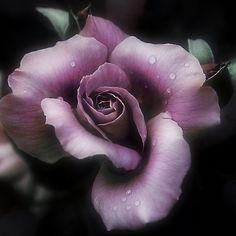 ~~ Dusty Rose ~~