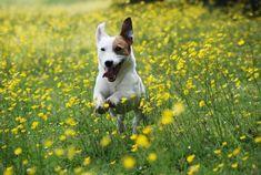 jack russell terrier running in the garden