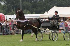 SES Stallion: Cizandro, Dutch Harness Horse