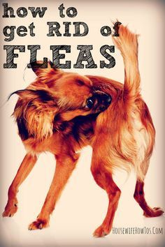 How To Get Rid Of Fleas Naturally (House And Pets)   Fleas Animals And How To Get Rid