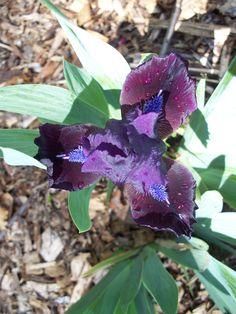 dwarf iris 'dark vader'